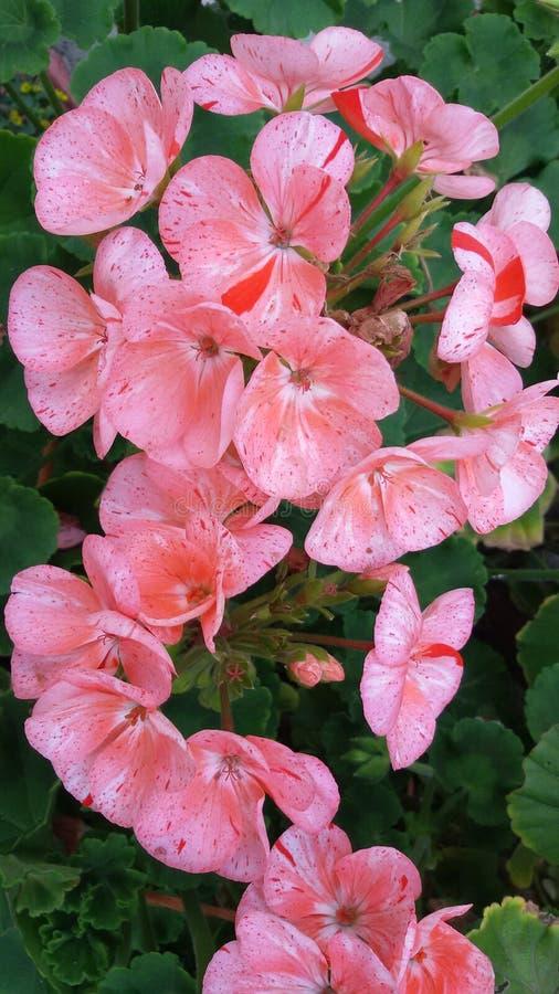 美丽的大竺葵 软的桃红色storkbills 库存图片