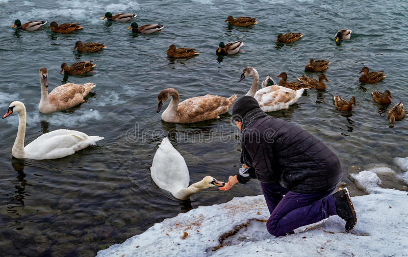 美丽的天鹅和野鸭在河 库存照片