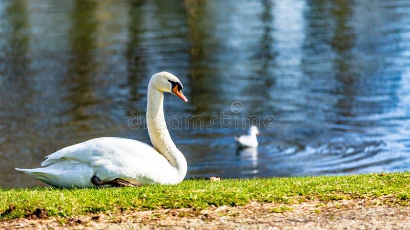美丽的天鹅坐绿草在有小天鹅游泳的一个池塘旁边 免版税库存照片