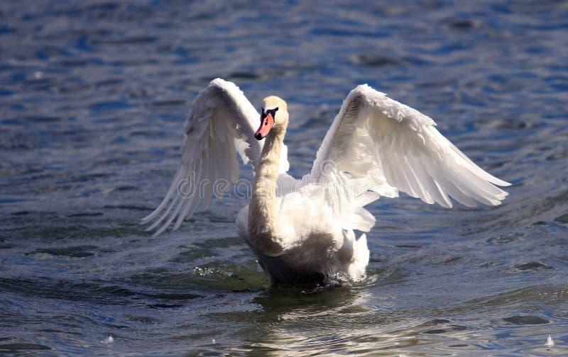美丽的天鹅涂它的翼 图库摄影
