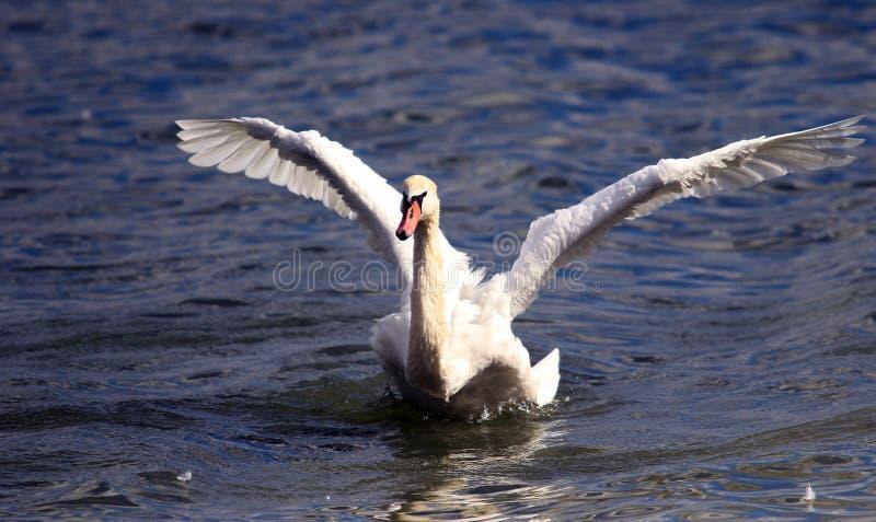 美丽的天鹅涂它的翼 免版税库存照片