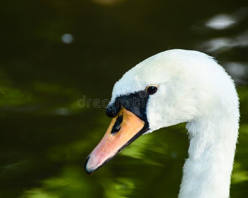 美丽的天鹅画象在湖 库存照片