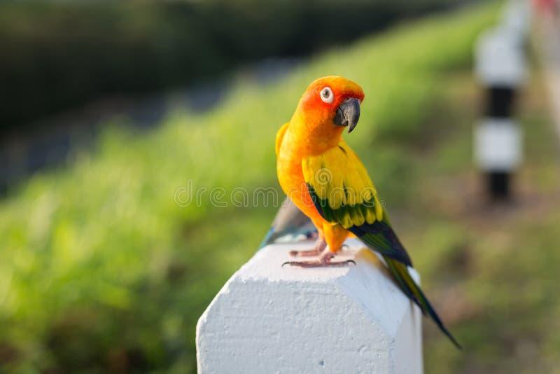 美丽的太阳Conure鹦鹉鸟 免版税图库摄影