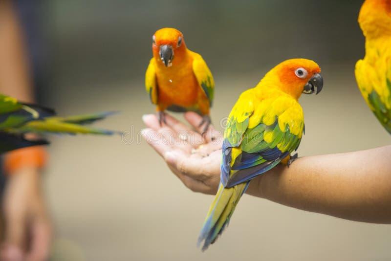 美丽的太阳Conure鹦鹉鸟 免版税库存照片