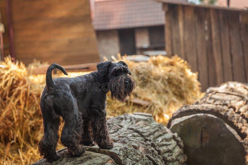 美丽的女孩和她的狗染黑髯狗 免版税库存照片