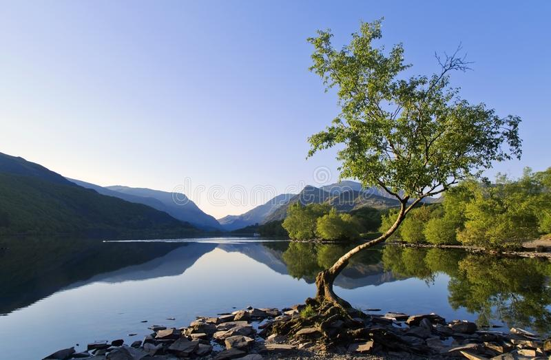 美丽的威尔士山在湖中Llyn Padarn平静水域反射了在孤立树Llan Beris威尔士 图库摄影