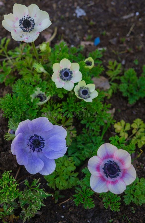 美丽的嫩蓝色花银莲花属在早期的春天在一张花床上在庭院里 图库摄影