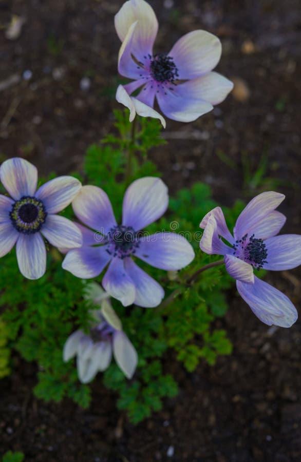 美丽的嫩蓝色花银莲花属在早期的春天在一张花床上在庭院里 库存照片