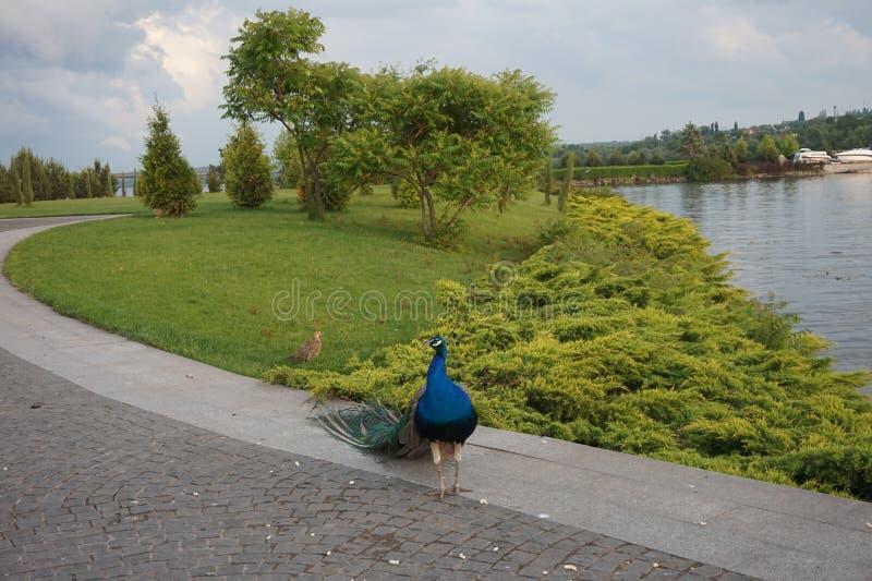 美丽的孔雀在路面的公园走 免版税库存照片