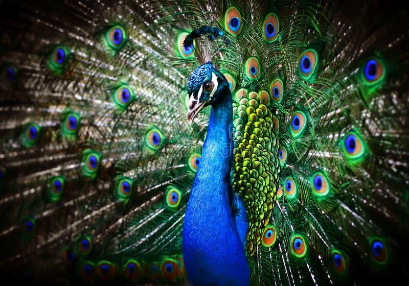 美丽的孔雀 库存照片