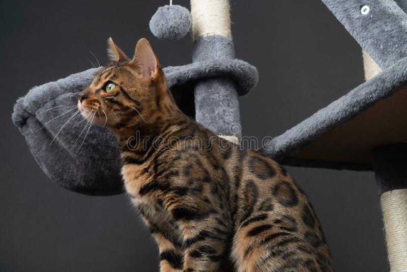 美丽的孟加拉猫在抓的岗位使用 库存照片