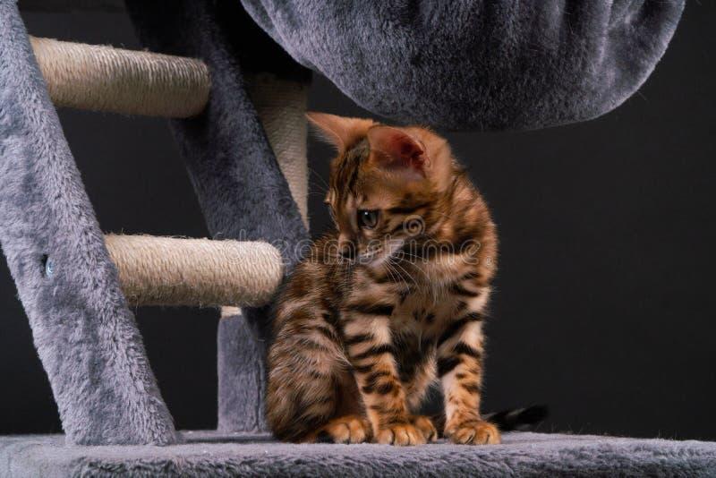 美丽的孟加拉猫在抓的岗位使用 免版税库存照片