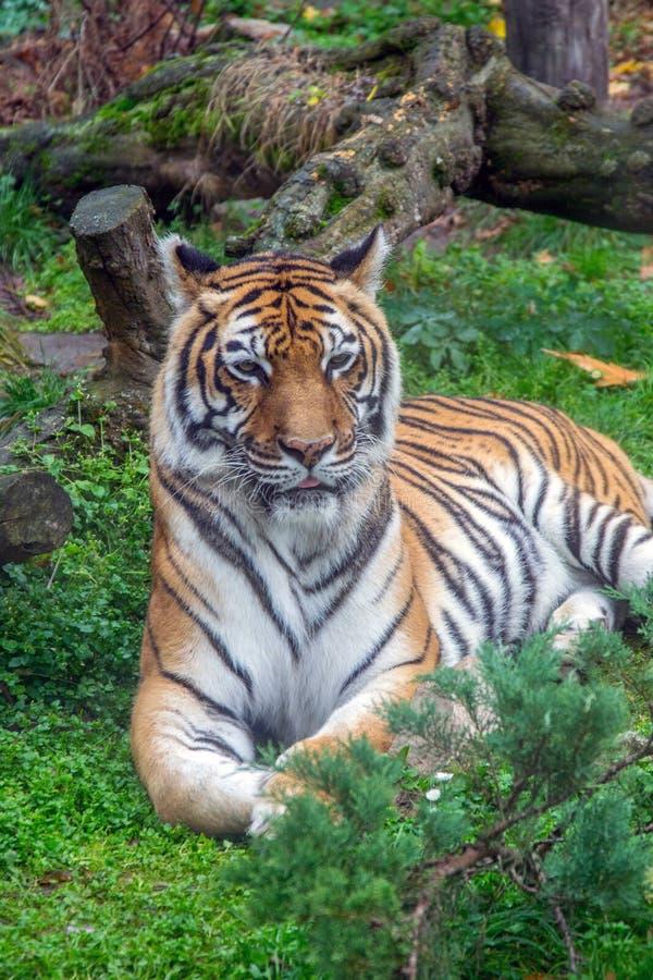 美丽的孟加拉老虎的画象 免版税库存照片