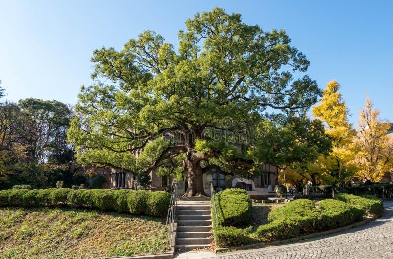 美丽的完善形状树在大厅或安田观众席前面的冬天东京大学的 图库摄影