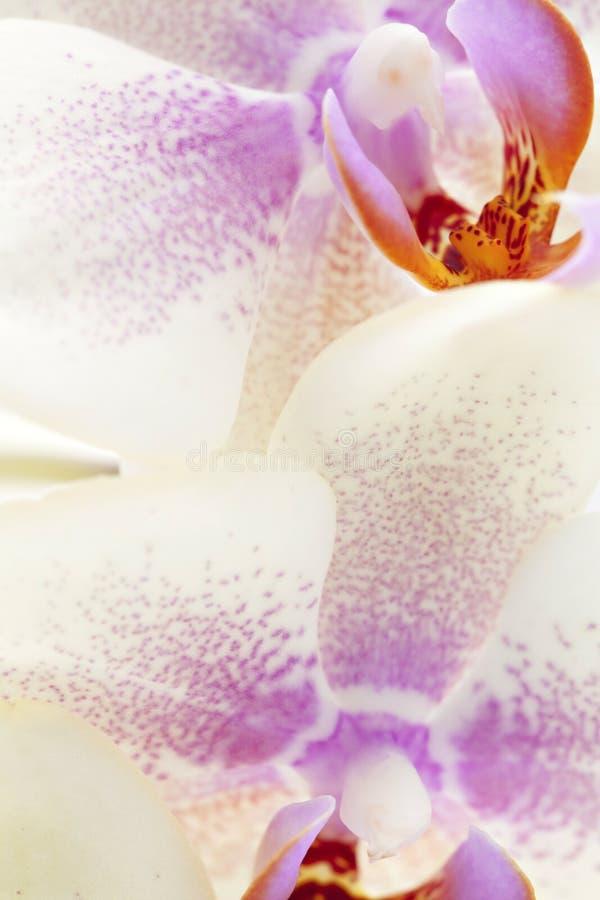 美丽的宏观兰花 图库摄影