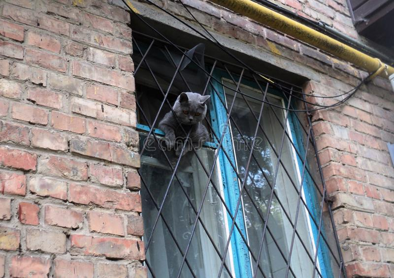 美丽的宠物灰色猫坐窗口 免版税图库摄影