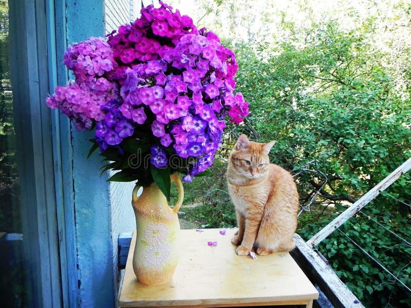 美丽的家庭猫 在一种充满活力的颜色的姜猫 r 库存照片