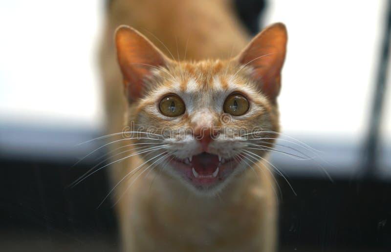 美丽的小猫要求猫叫吃 免版税库存图片