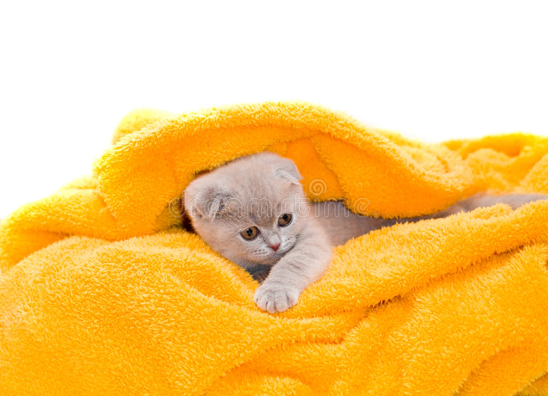 美丽的小猫 免版税库存图片