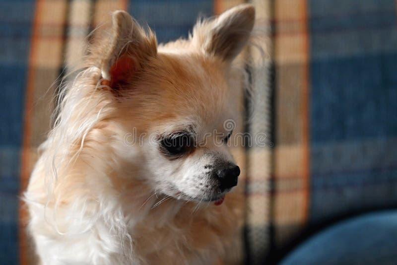 美丽的小的宠物 狗-奇瓦瓦狗 图库摄影