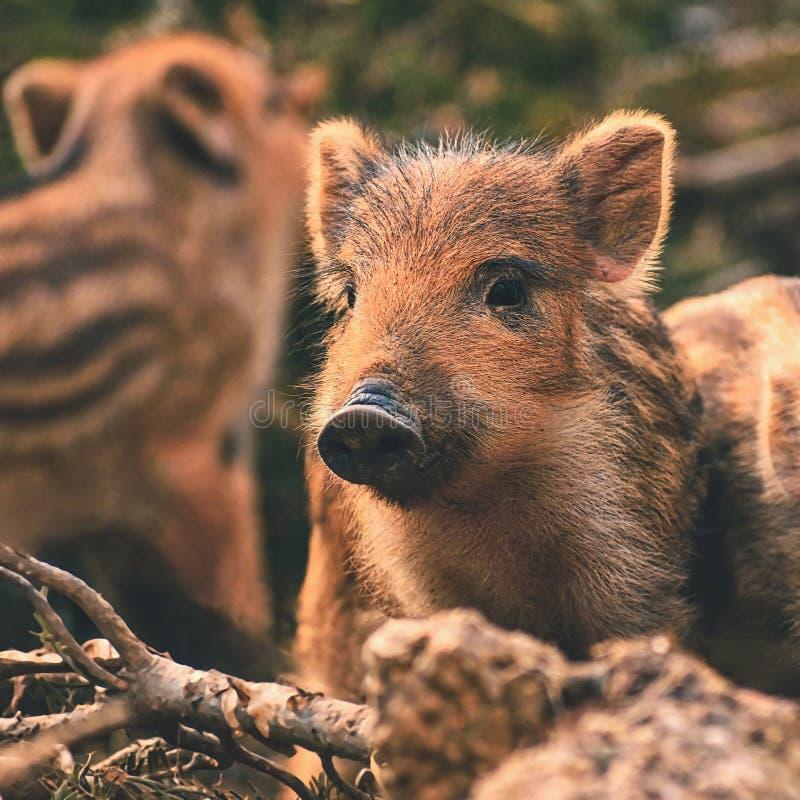 美丽的小的猪狂放本质上 通配区公猪本质俄国的voronezh 动物在春天森林 库存照片