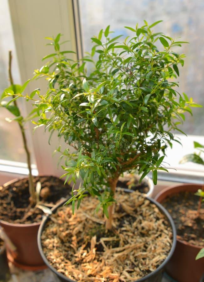 美丽的小绿色有叶的加州桂树-在罐的桃金娘属 增长的常青新鲜和装饰室内植物灌木 库存照片