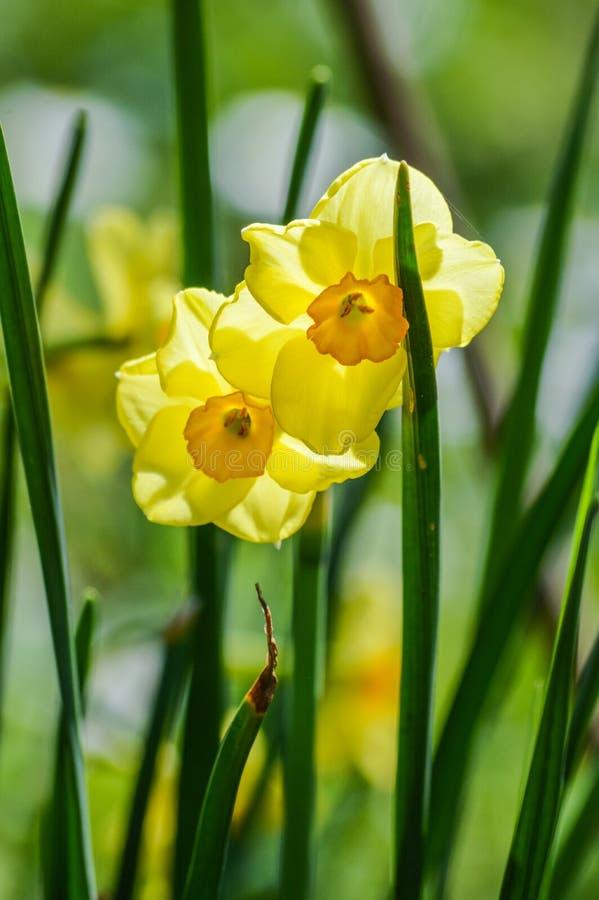 美丽的小黄色黄水仙在春天光支持点燃 图库摄影