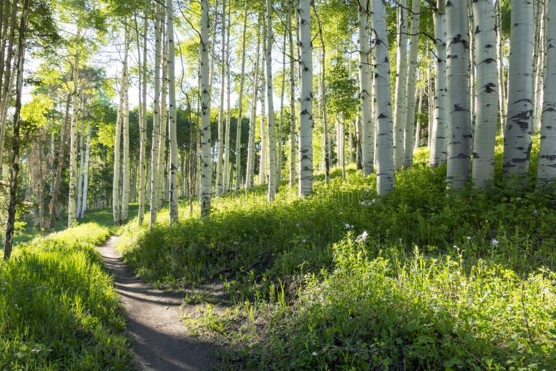 美丽的山供徒步旅行的小道通过Vail科罗拉多亚斯本树  库存图片