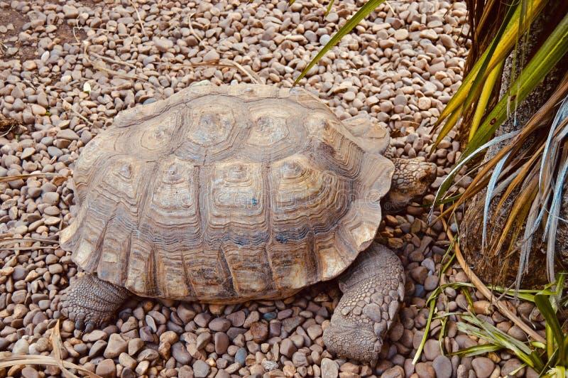 美丽的巨型乌龟 库存图片