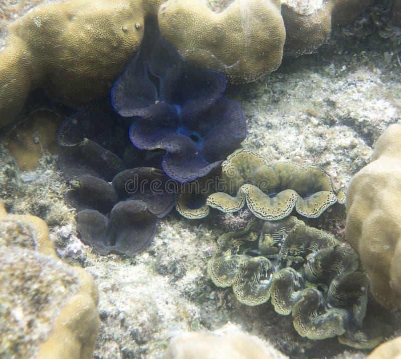 美丽的巨蛤蛤蜊 免版税库存照片