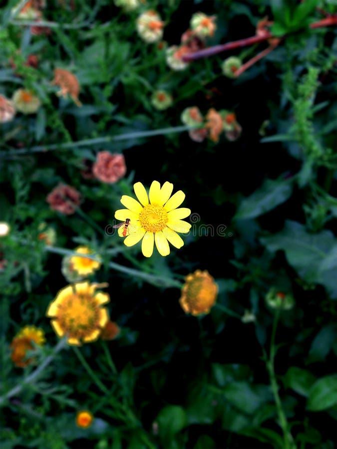 在黑背景的黄色花 免版税库存照片