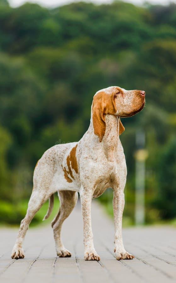 美丽的布拉克伊泰莲诺尖女性狗身分在公园 库存图片