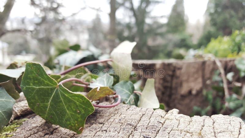 美丽的常春藤在公园 免版税库存照片