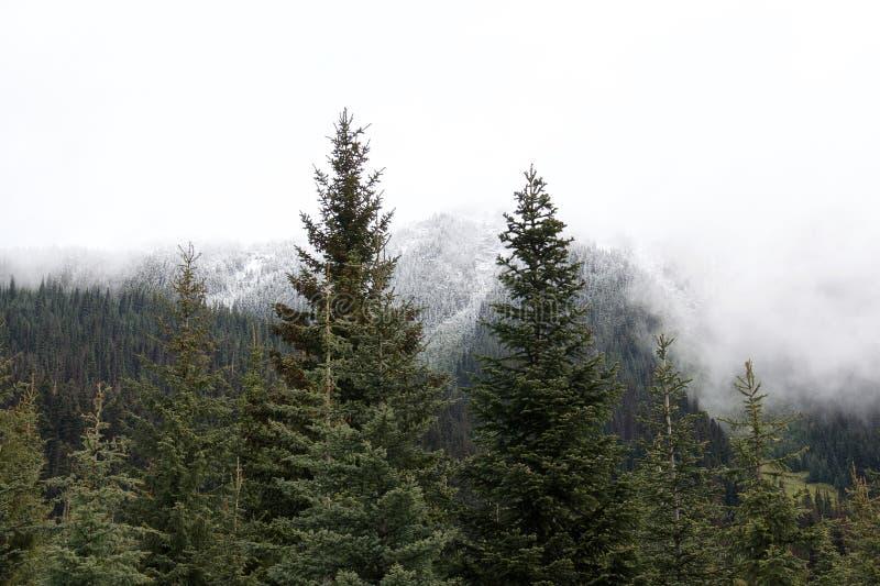 美丽的常青云杉和积雪覆盖的森林峰顶 库存照片