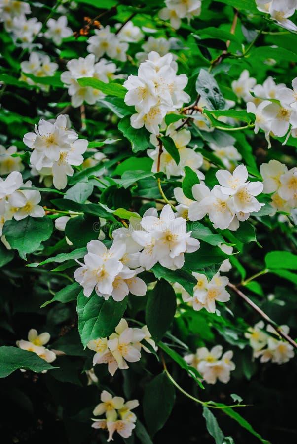 美丽的常青白色茉莉花花 图库摄影