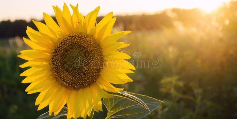 美丽的年轻向日葵增长在领域在日落 农业和种田 农业庄稼 o 向日葵 图库摄影