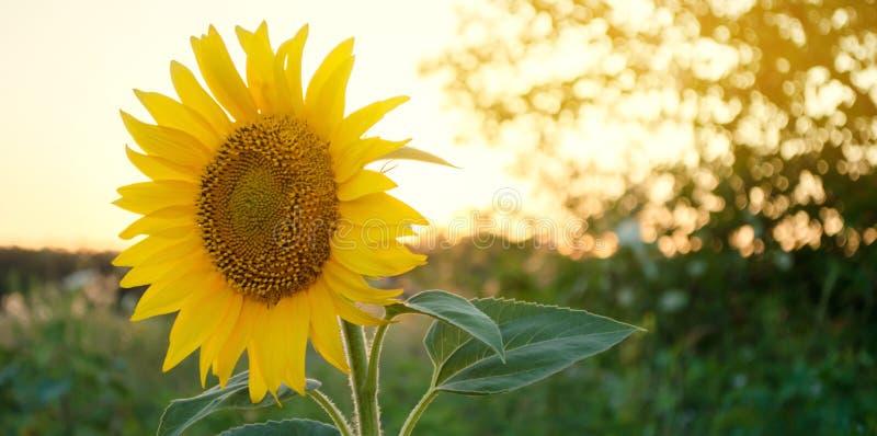 美丽的年轻向日葵增长在领域在日落 农业和种田 农业庄稼 o 向日葵 库存照片
