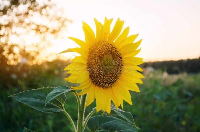 美丽的年轻向日葵增长在领域在日落 农业和种田 农业庄稼 o 向日葵 免版税图库摄影