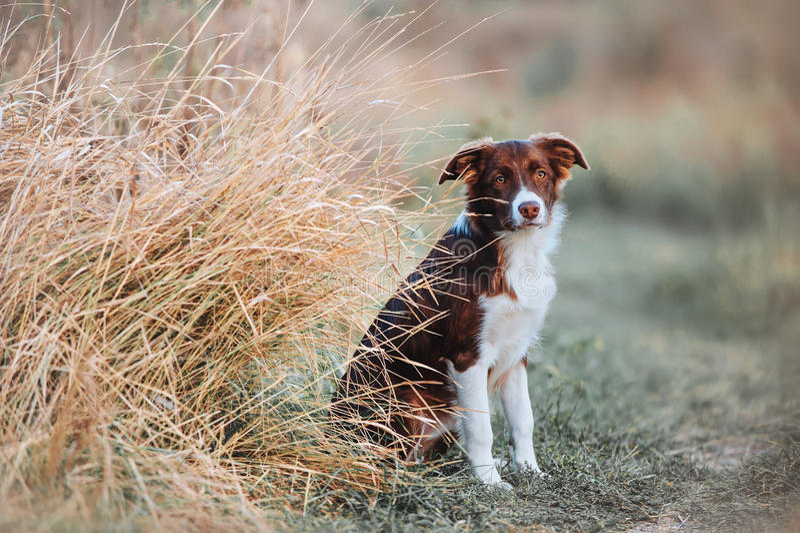 美丽的幼小博德牧羊犬小狗在领域坐高草背景  库存图片