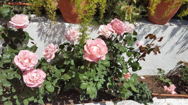 美丽的庭院上升了 免版税库存图片