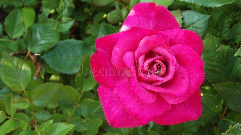 美丽的庭院玫瑰 库存图片