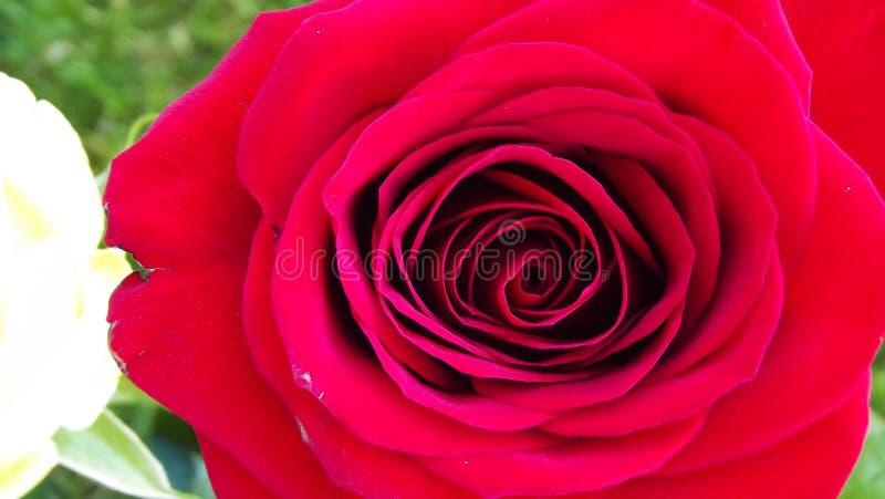 美丽的庭院玫瑰 免版税图库摄影