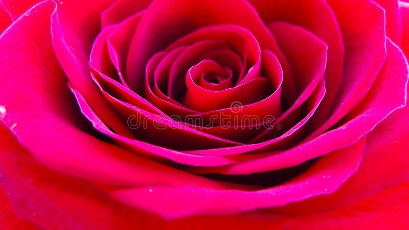 美丽的庭院玫瑰 图库摄影