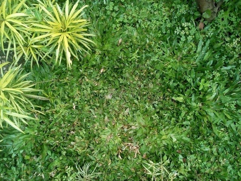 美丽的庭院草 库存照片