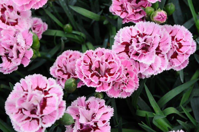 美丽的康乃馨花 免版税库存图片