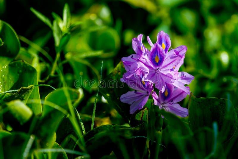 美丽的开花的凤眼兰 免版税图库摄影