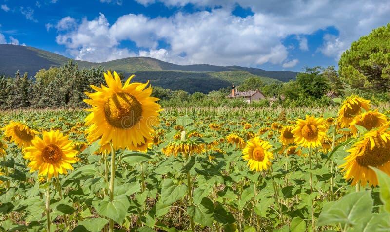 美丽的开花的向日葵的领域 托斯卡纳,意大利的农村风景 免版税库存照片