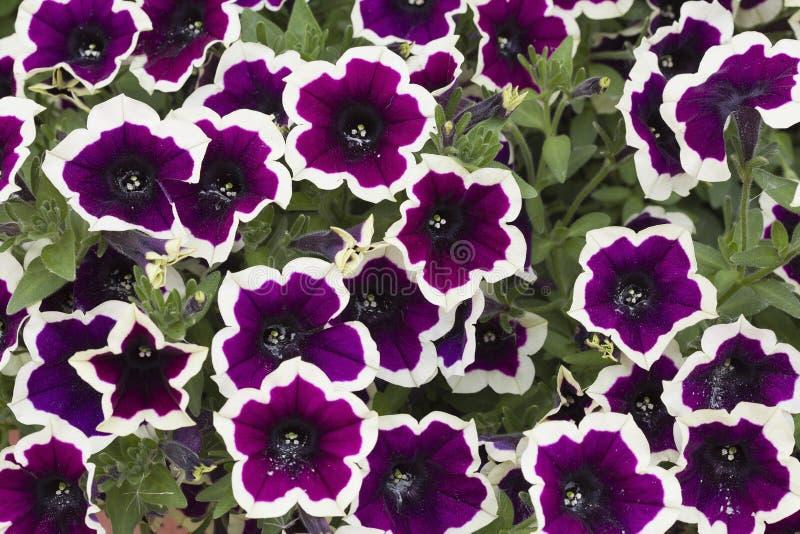 美丽的开花的喇叭花 库存照片