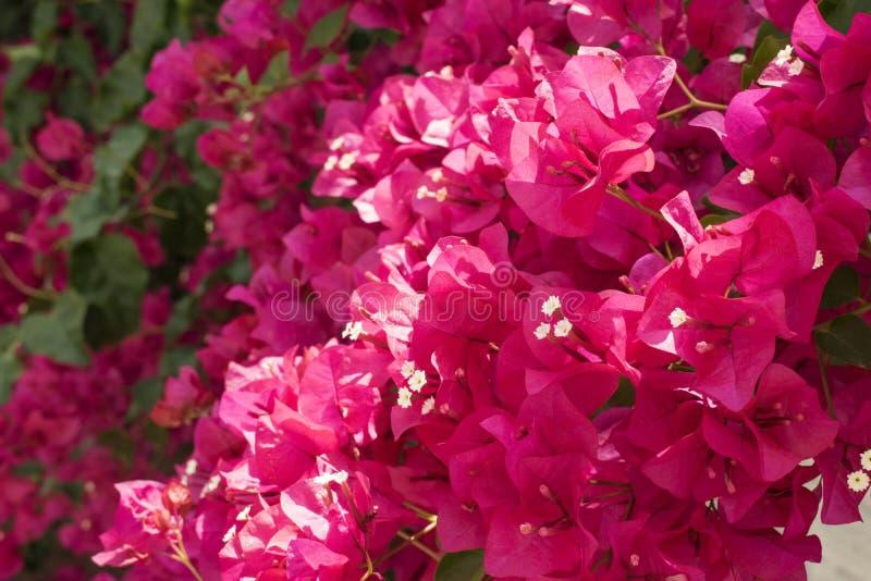 美丽的开花的明亮的桃红色九重葛在一好日子 免版税库存照片