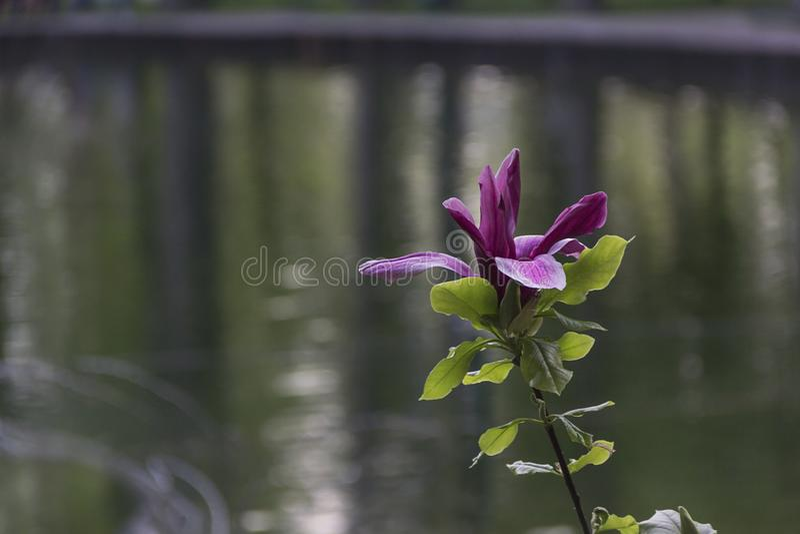 美丽的开花的木兰在庭院里在春天背景中 免版税库存图片